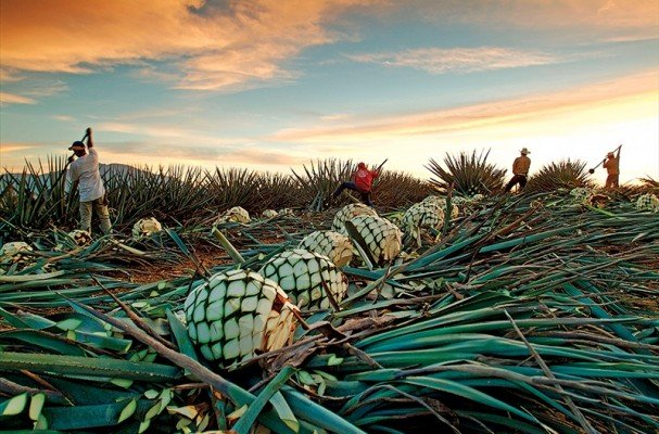 The-LuxuryTrends-Tequila-Algave-azul